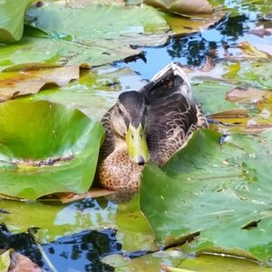 A shy Mallard lady hiding among the Water Lily leaves.