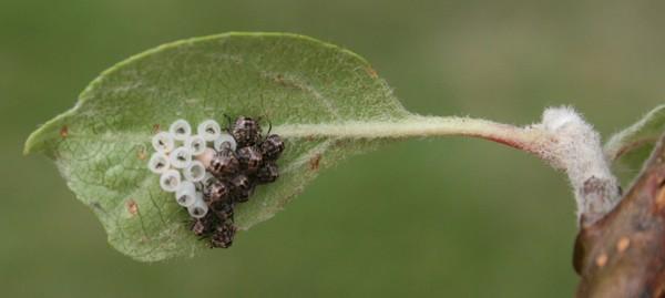 Well-known Apple Tree Leaf Bugs VK96